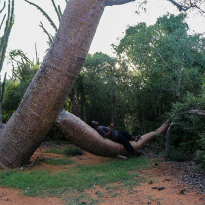 lazing on the baobab